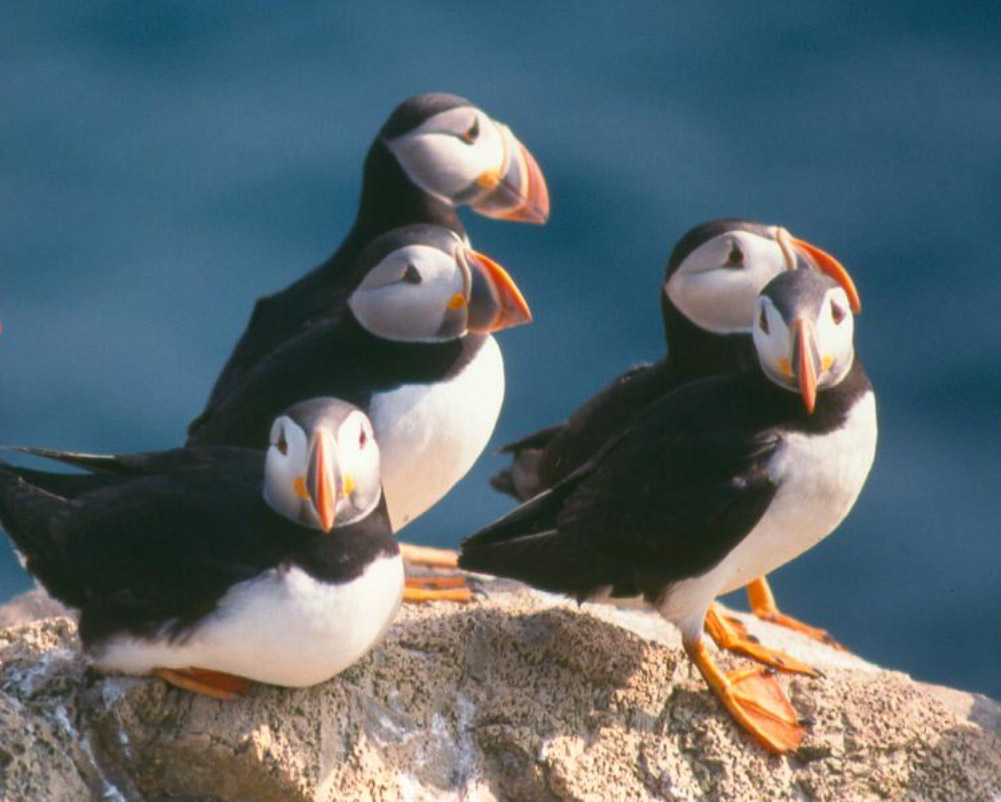 A gathering of puffins nesting on a rock